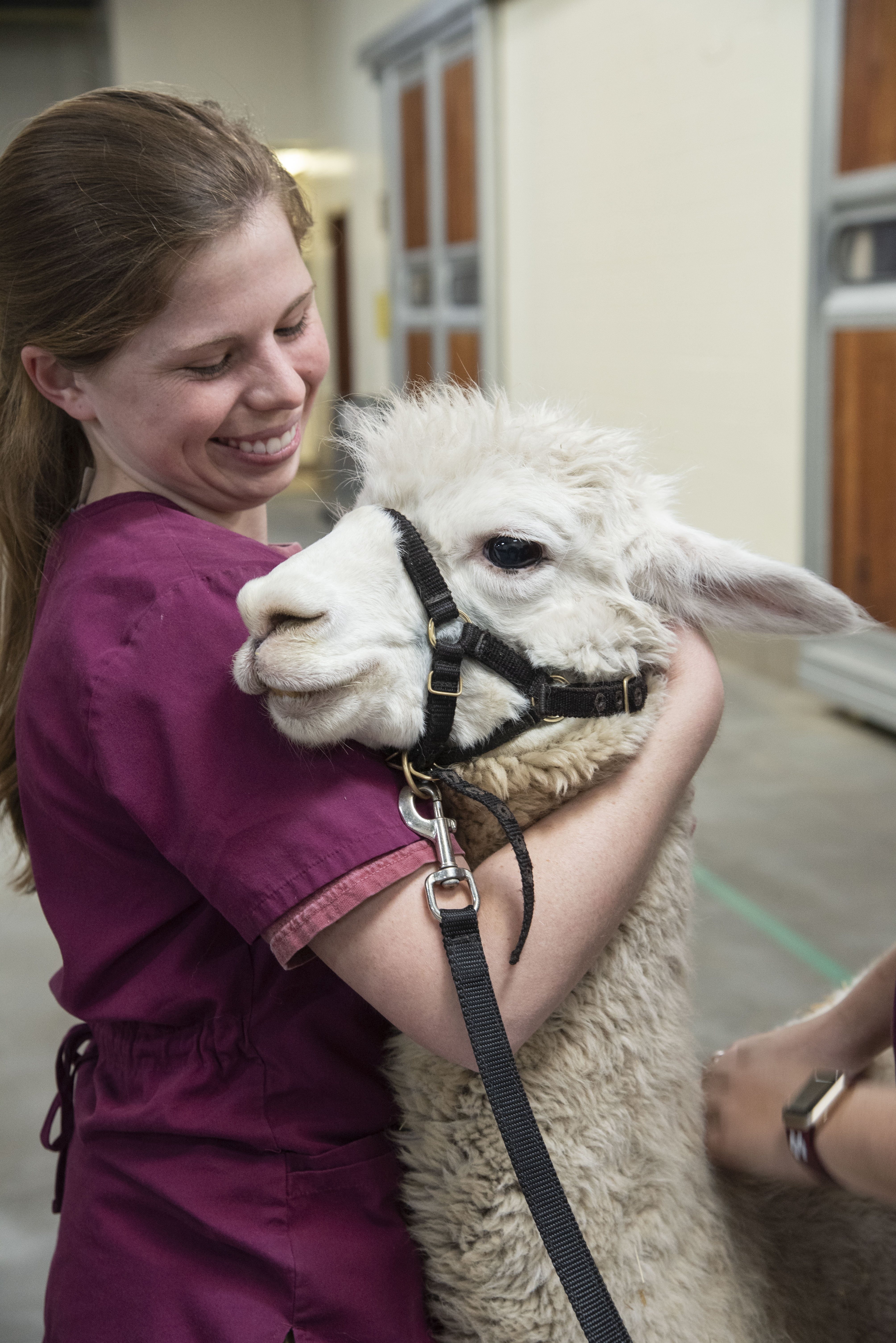 A veterinary student comforts an alpaca