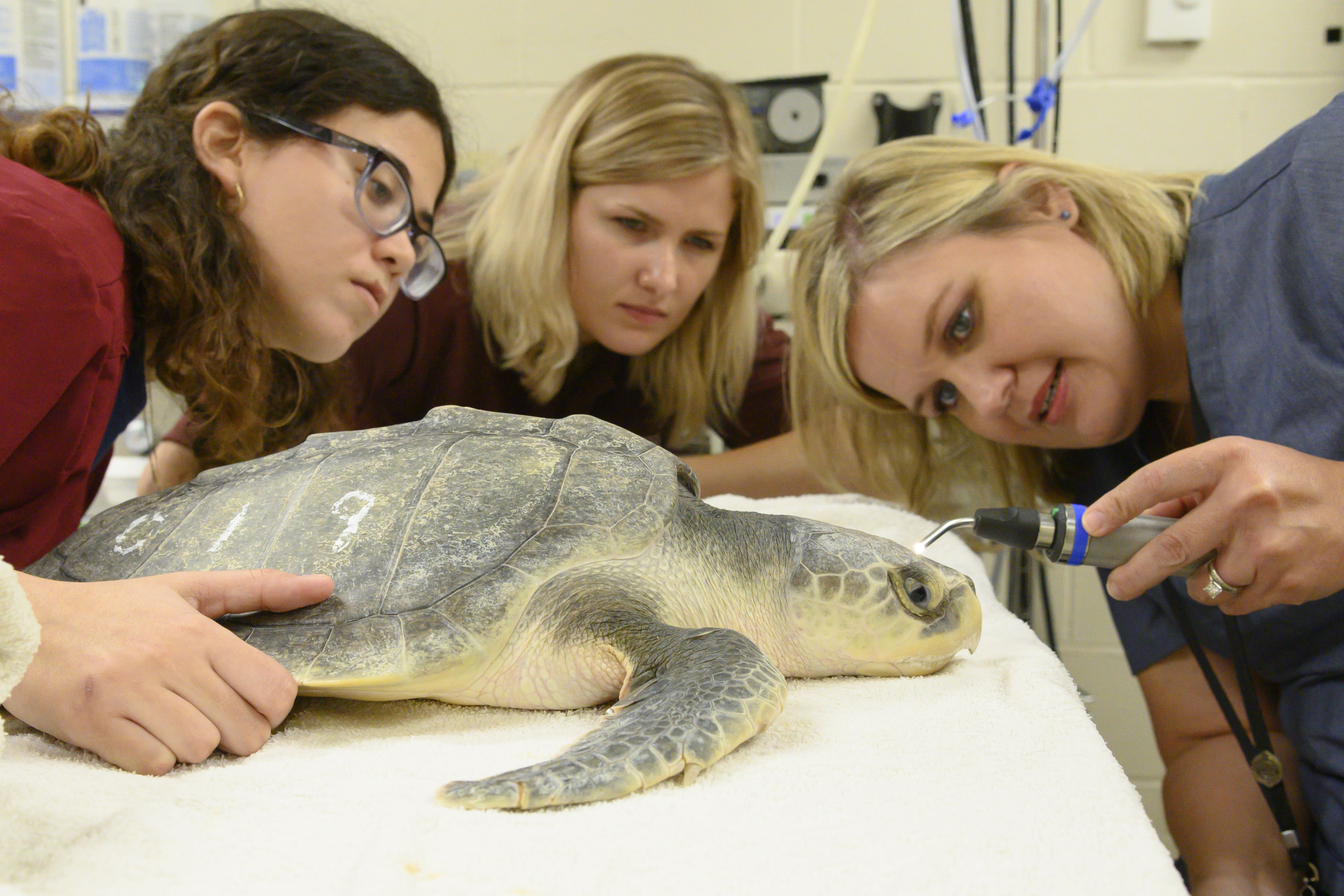 Two students and a veterinarian examine a sea turtle