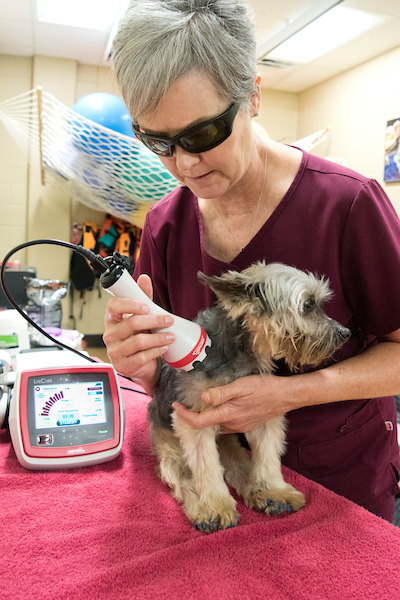 A canine rehabilitation specialist performs therapeutic laser therapy on a dog