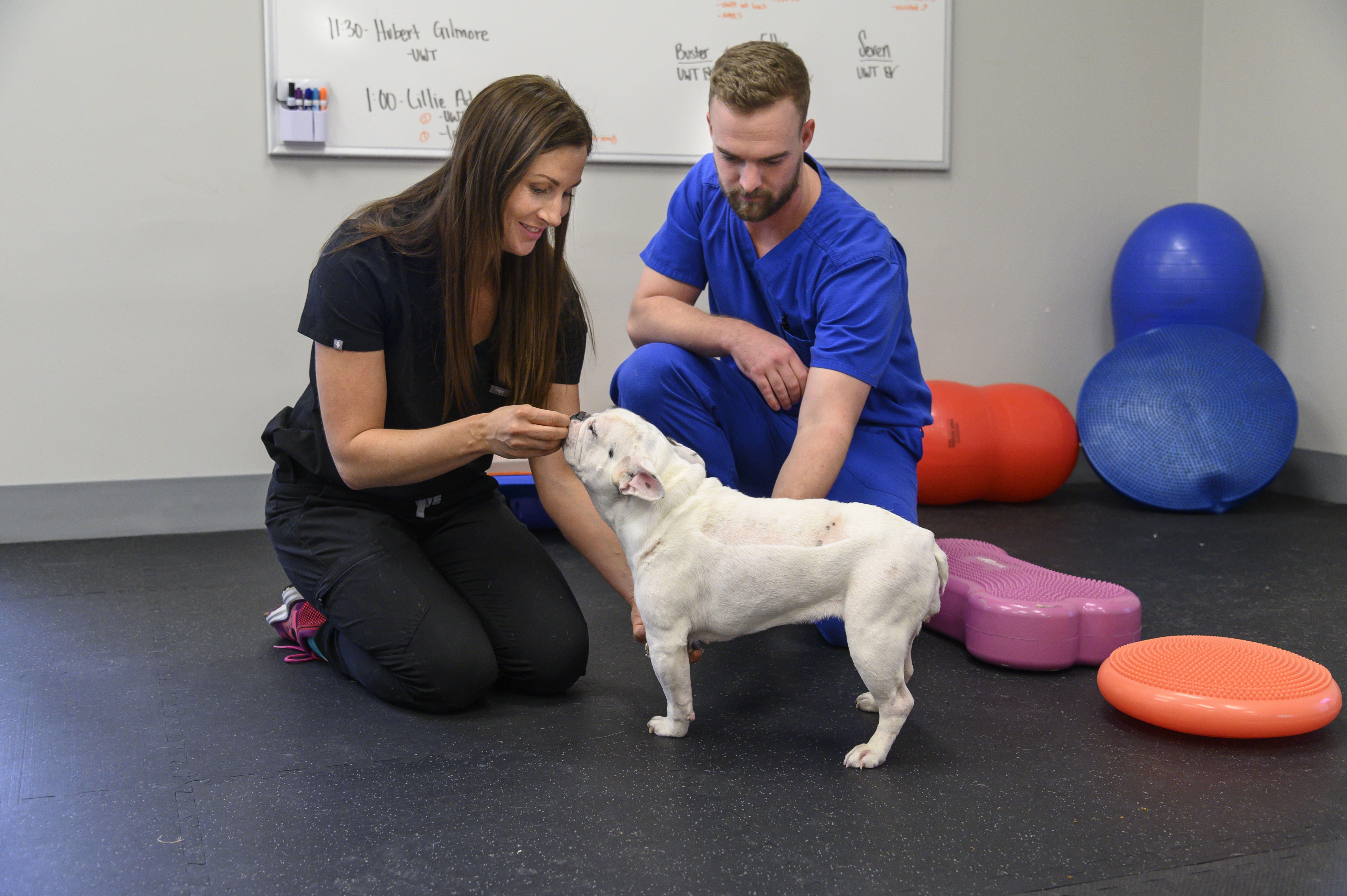 A veterinarian and student perform rehab exercises on a dog